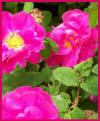 The Apothecary's Rose - Rosa gallica officinalis photo
